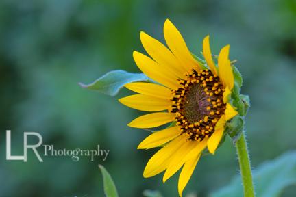 sunflower_photo