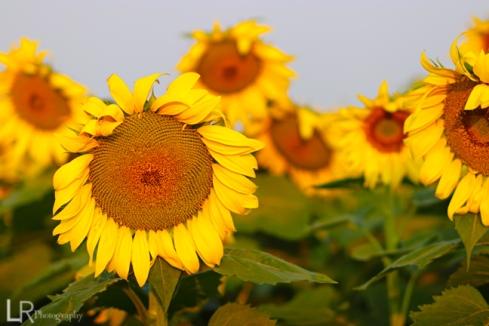 sunflowers_web